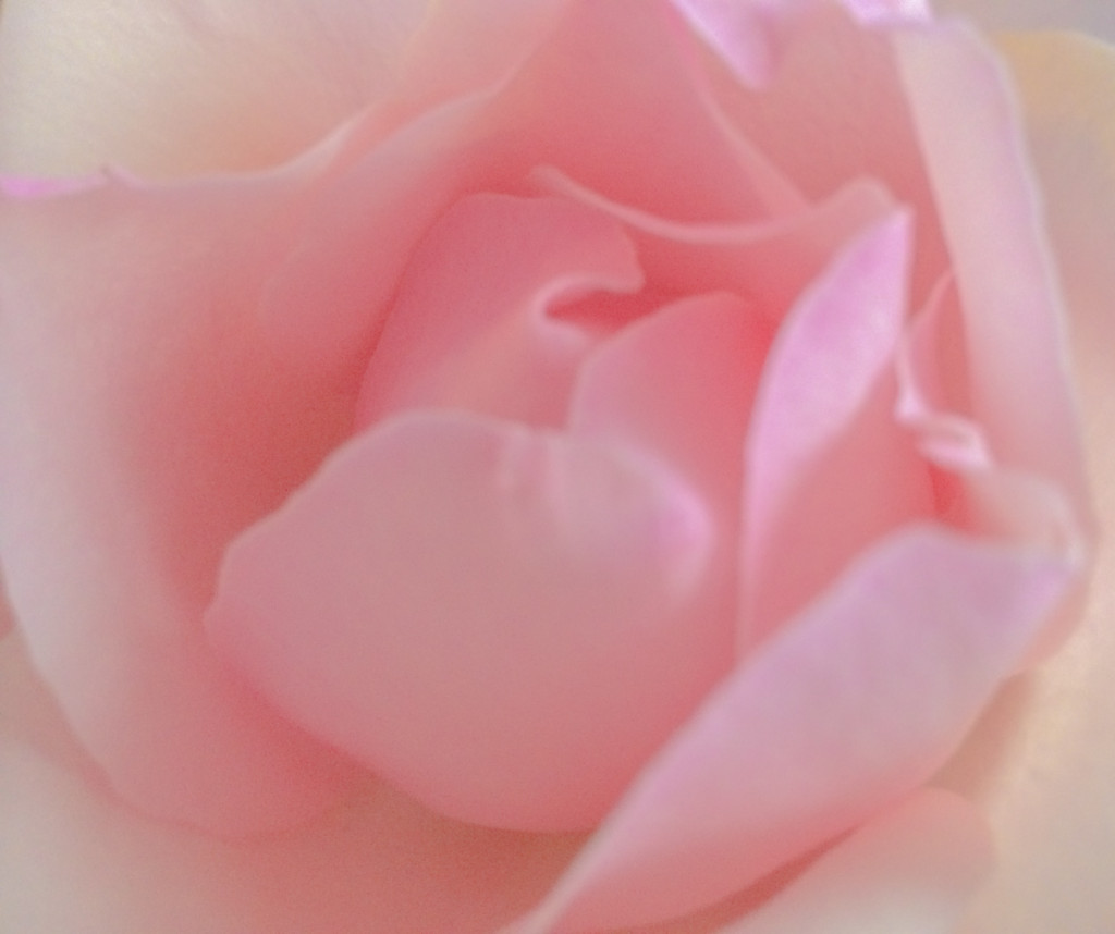 Instagram Pink Rose